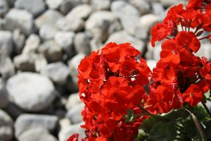 Photo of red geraniums