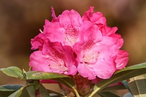 Photo of pink rhododendron