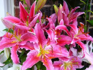 Photo of stargazer lilies