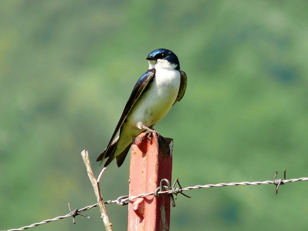 Photo of a tree swallow sitting on a post