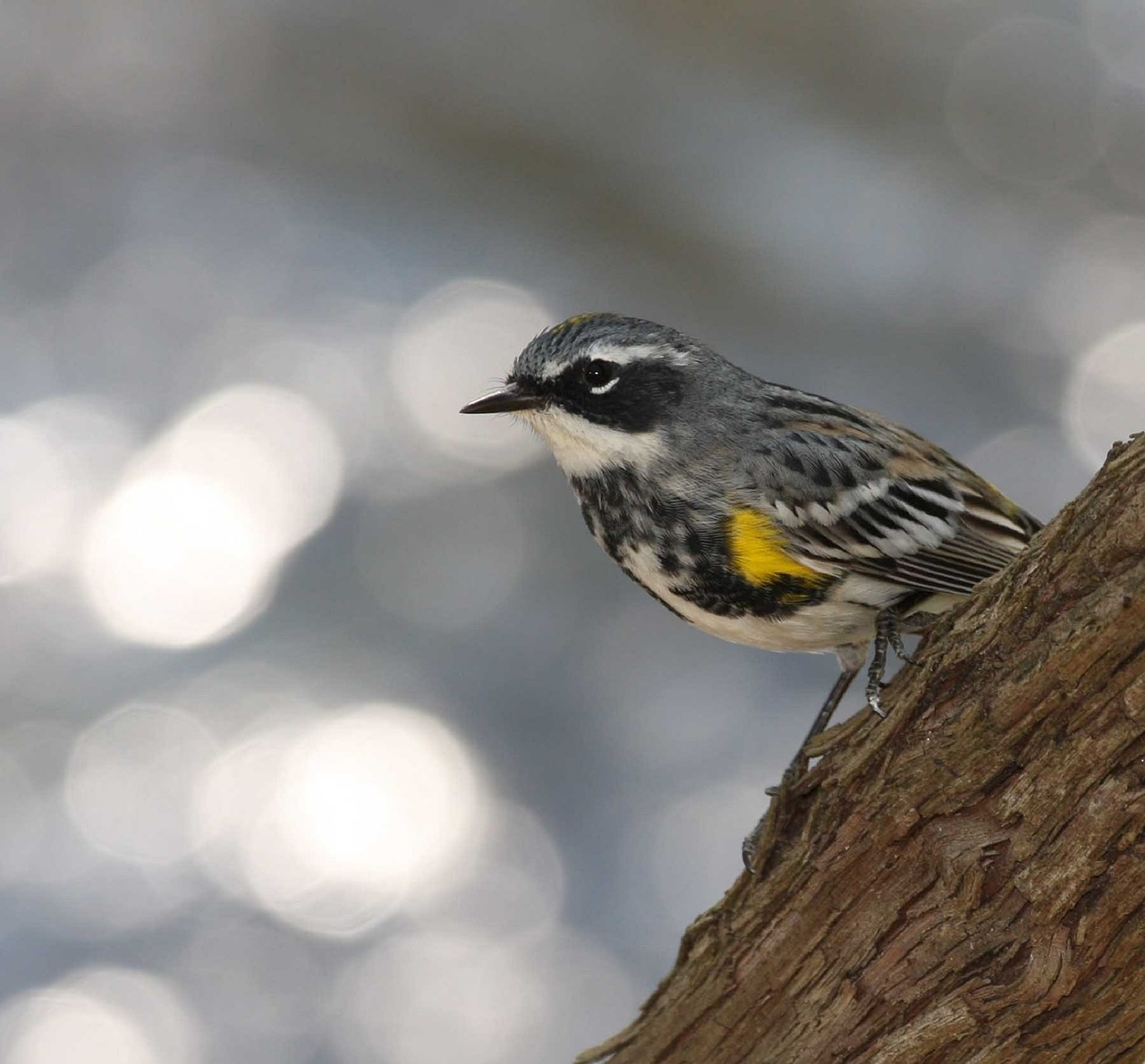 Photo of a yellow-rumped warbler