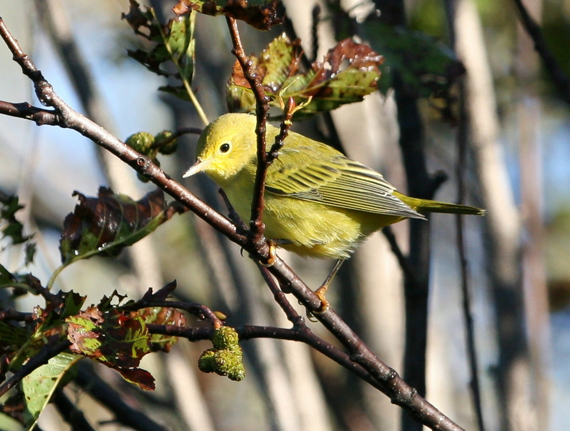 Photo of a yellow warbler