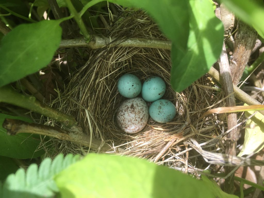 chipping sparrow and cowbird egg