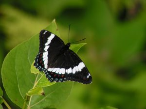 Photo of white admiral