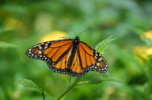 Photo of a male monarch butterfly
