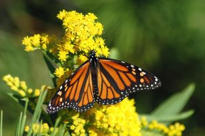 Photo of a female monarch butterfly
