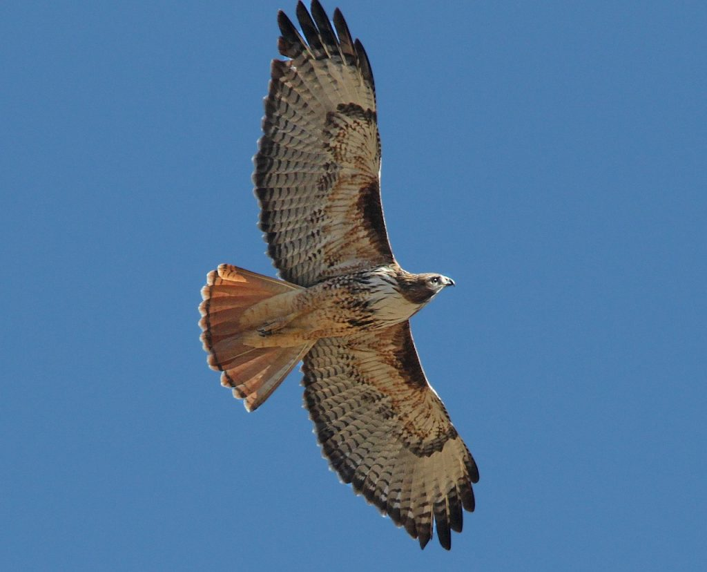 Photo of a red-tailed hawk flying