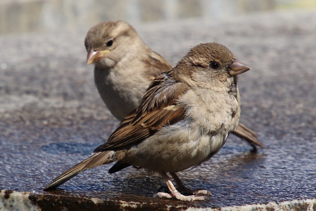 Photo of a house sparrow