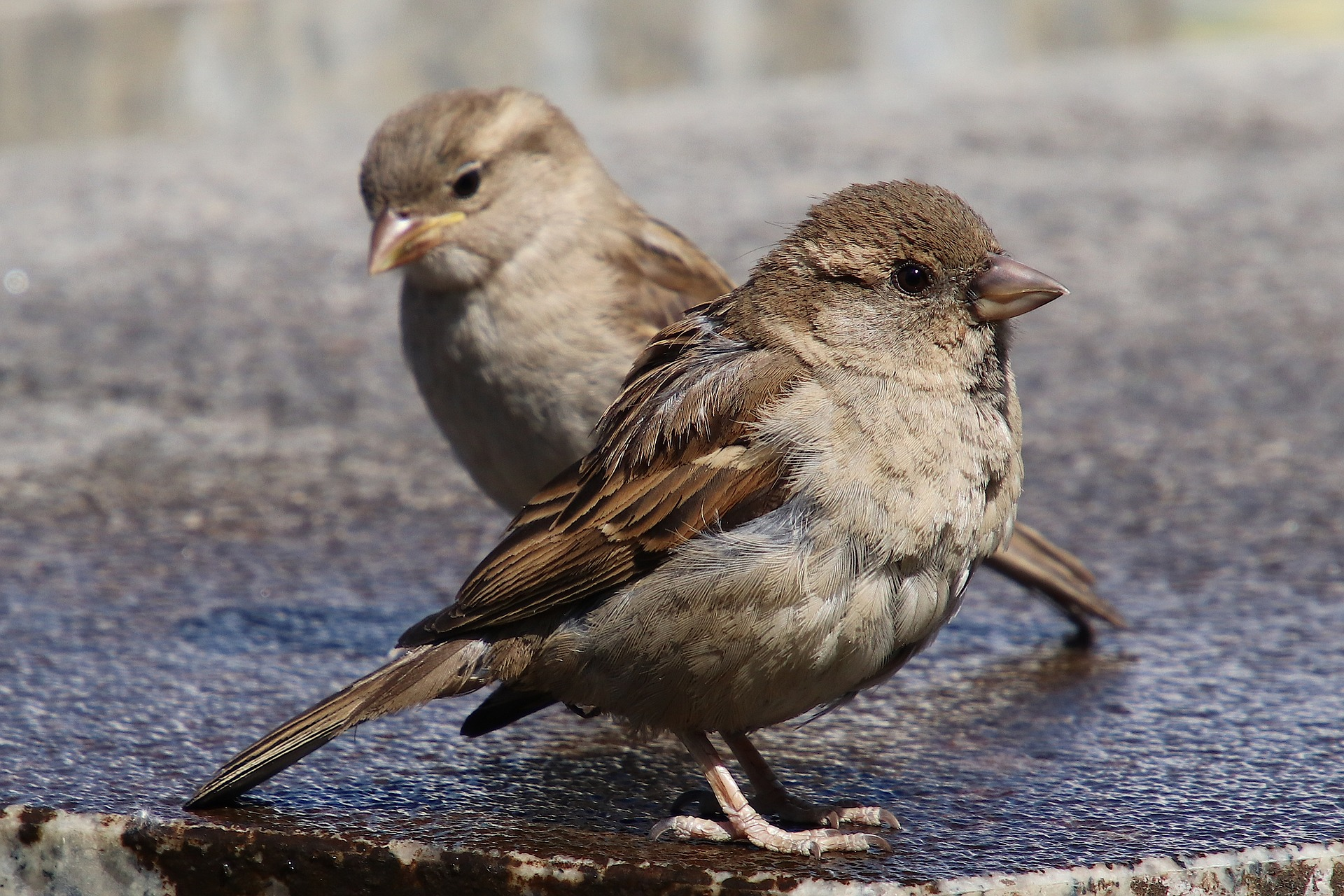 House Sparrows And How To Deal With Them Dickinson County Conservation Board