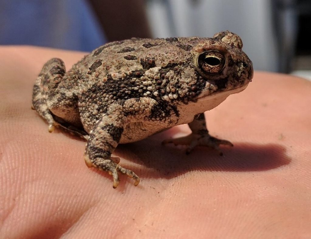 Photo of Fowler's toad