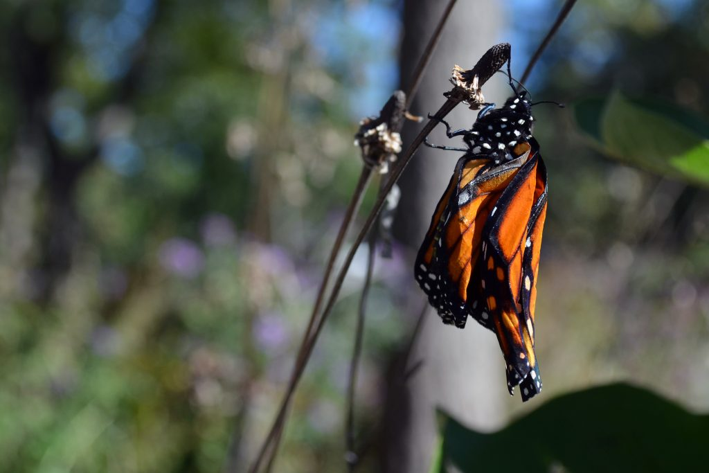 monarch with crumpled wings