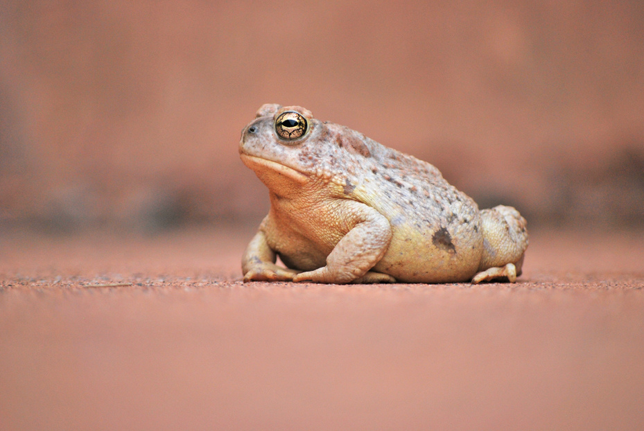 Photo of Woodhouse's toad