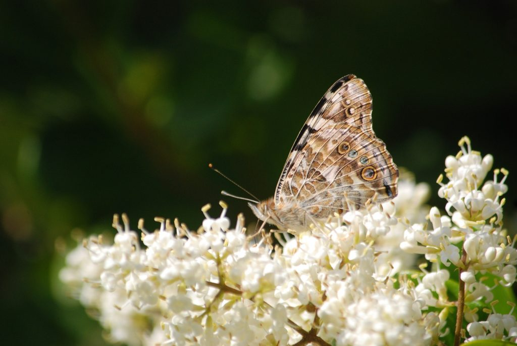 Photo of the underside of a painted lady