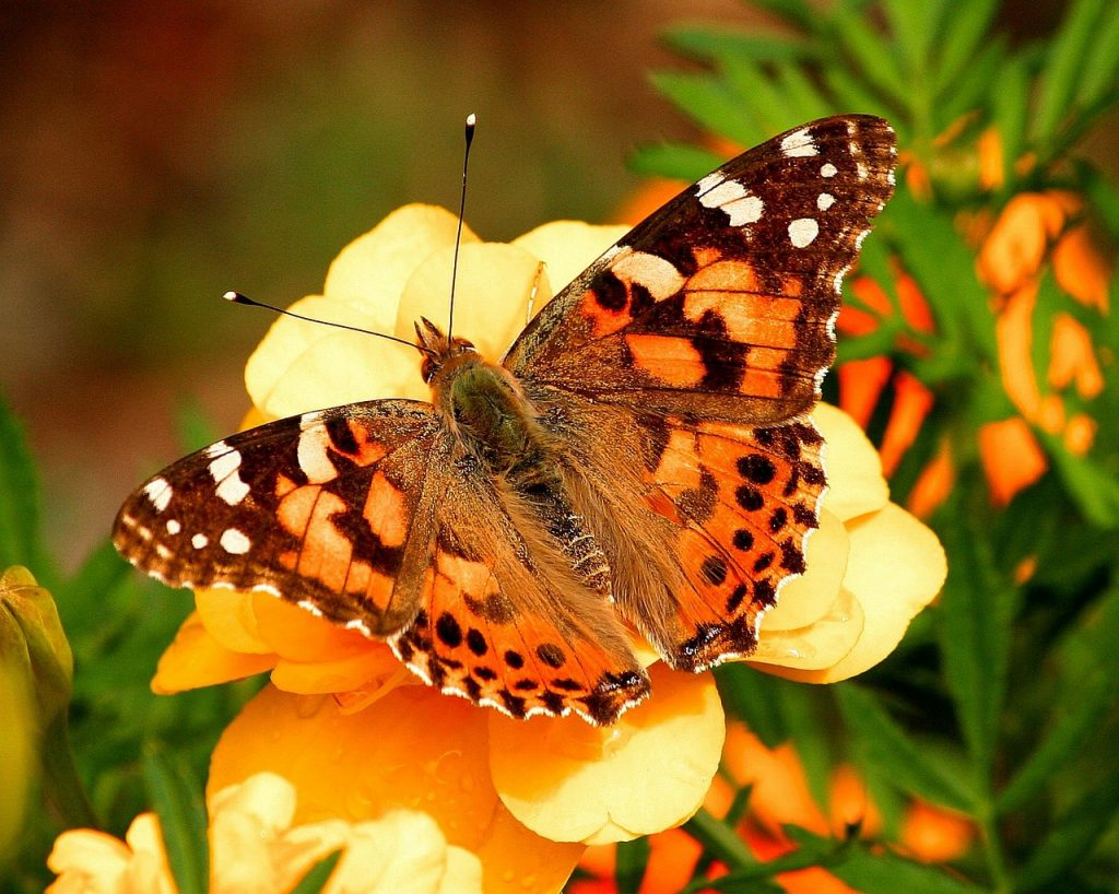 Photo of a painted lady