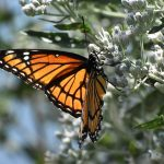 Photo of a viceroy butterfly