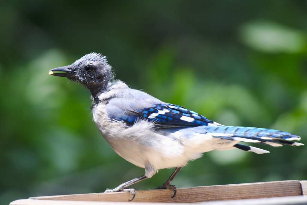 Photo of a bald blue jay