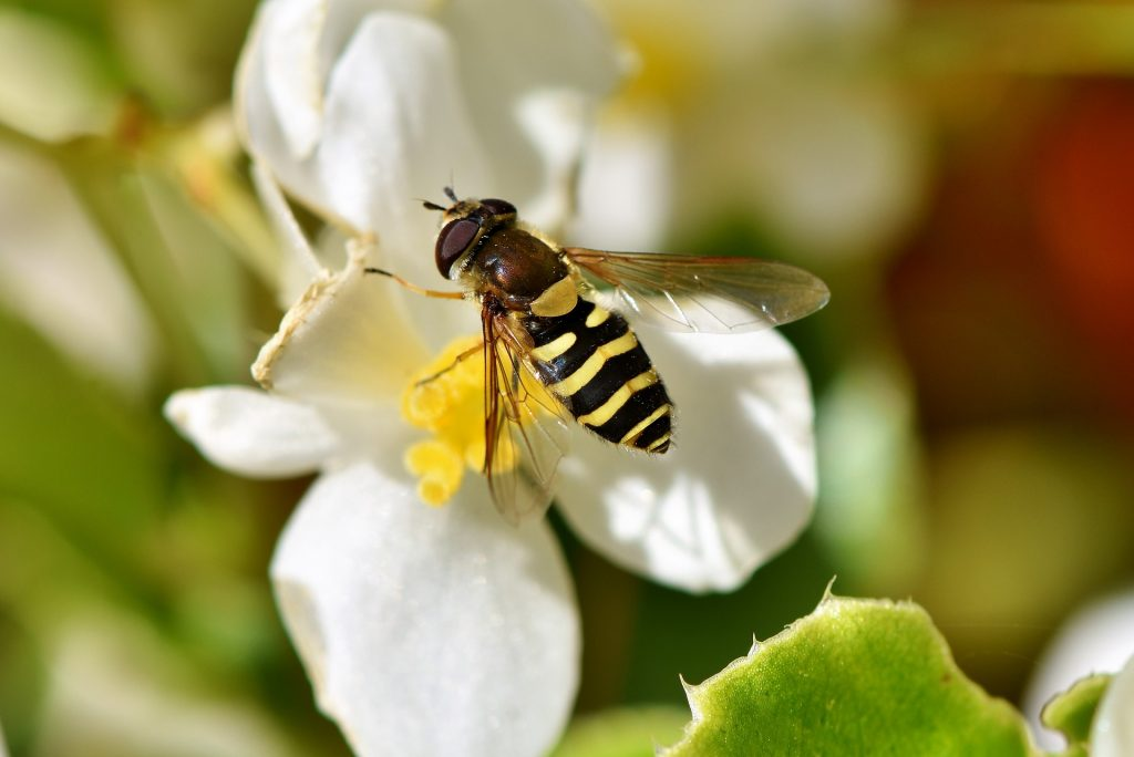 Photo of a hoverfly on a white flower