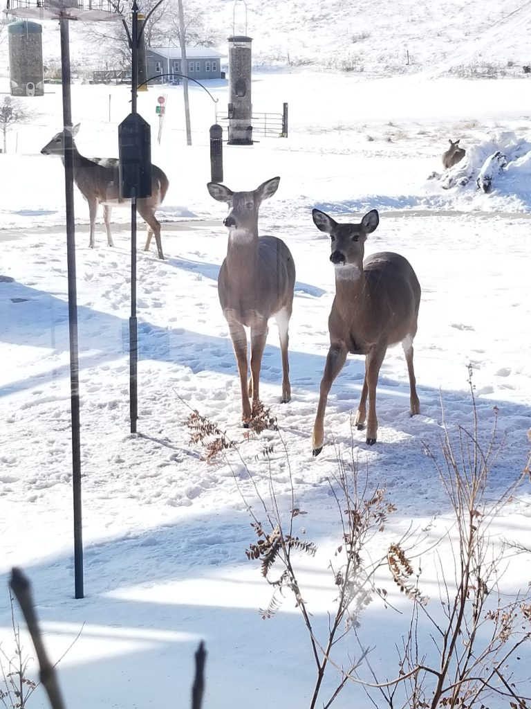 Photo of white-tail deer