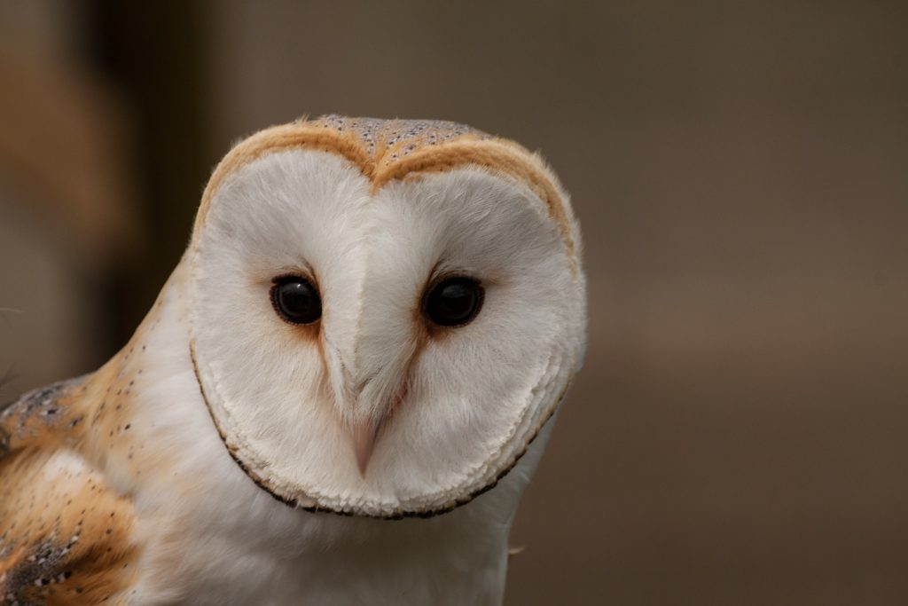 barn owl's face
