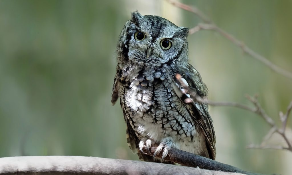 Photo of an eastern screech owl