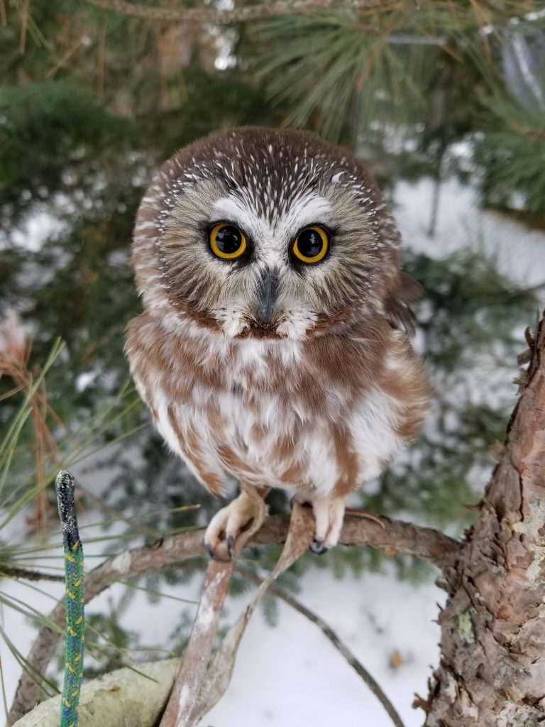 Photo of a saw-whet owl in a tree