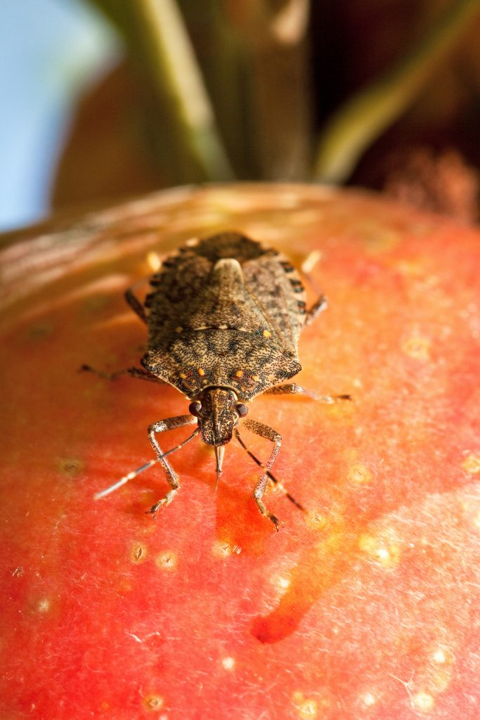 Photo of a brown marmorated stink bug
