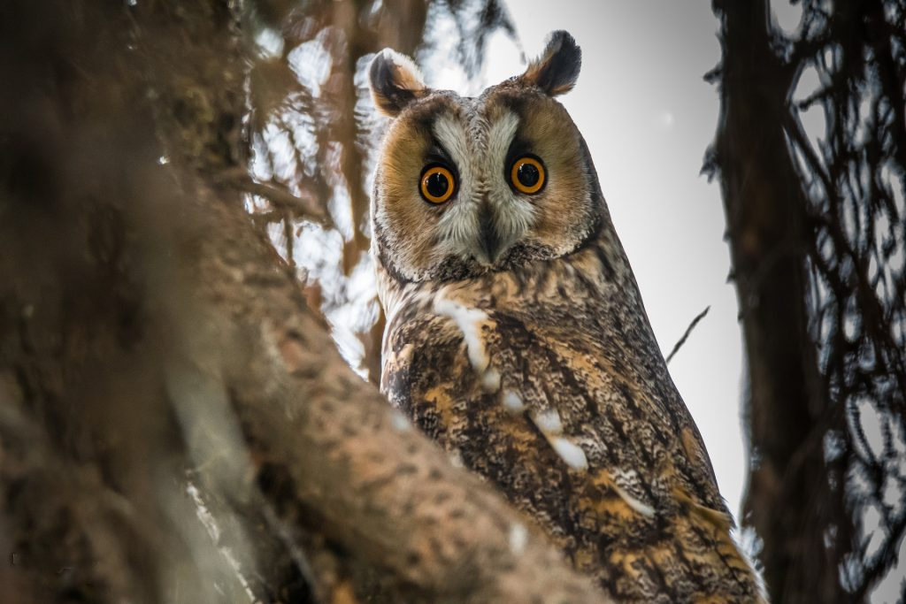 Photo of a long-eared owl in a tree