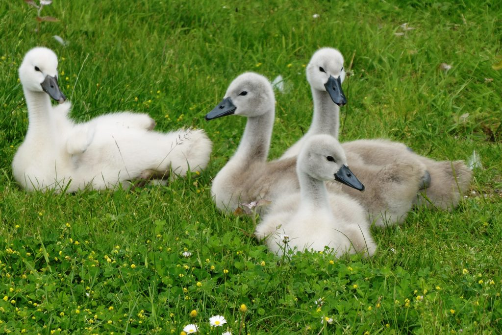 Photo of swan chicks