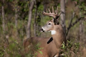 white-tail buck with antlers