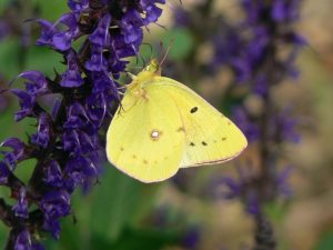 Photo of a clouded sulphur butterfly