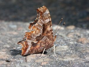 Photo of an eastern comma