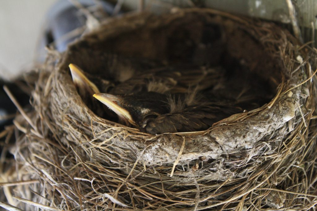 Photo of robins in a nest