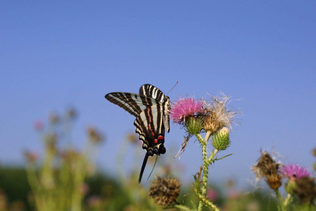 Photo of zebra swallowtail