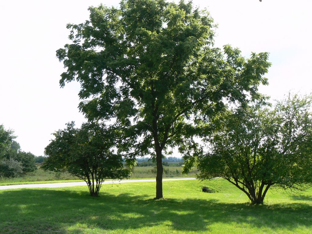 Photo of black walnut tree