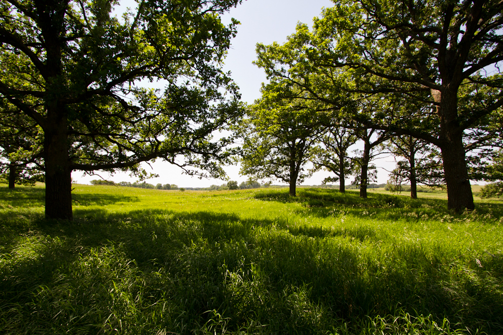 bur oak trees