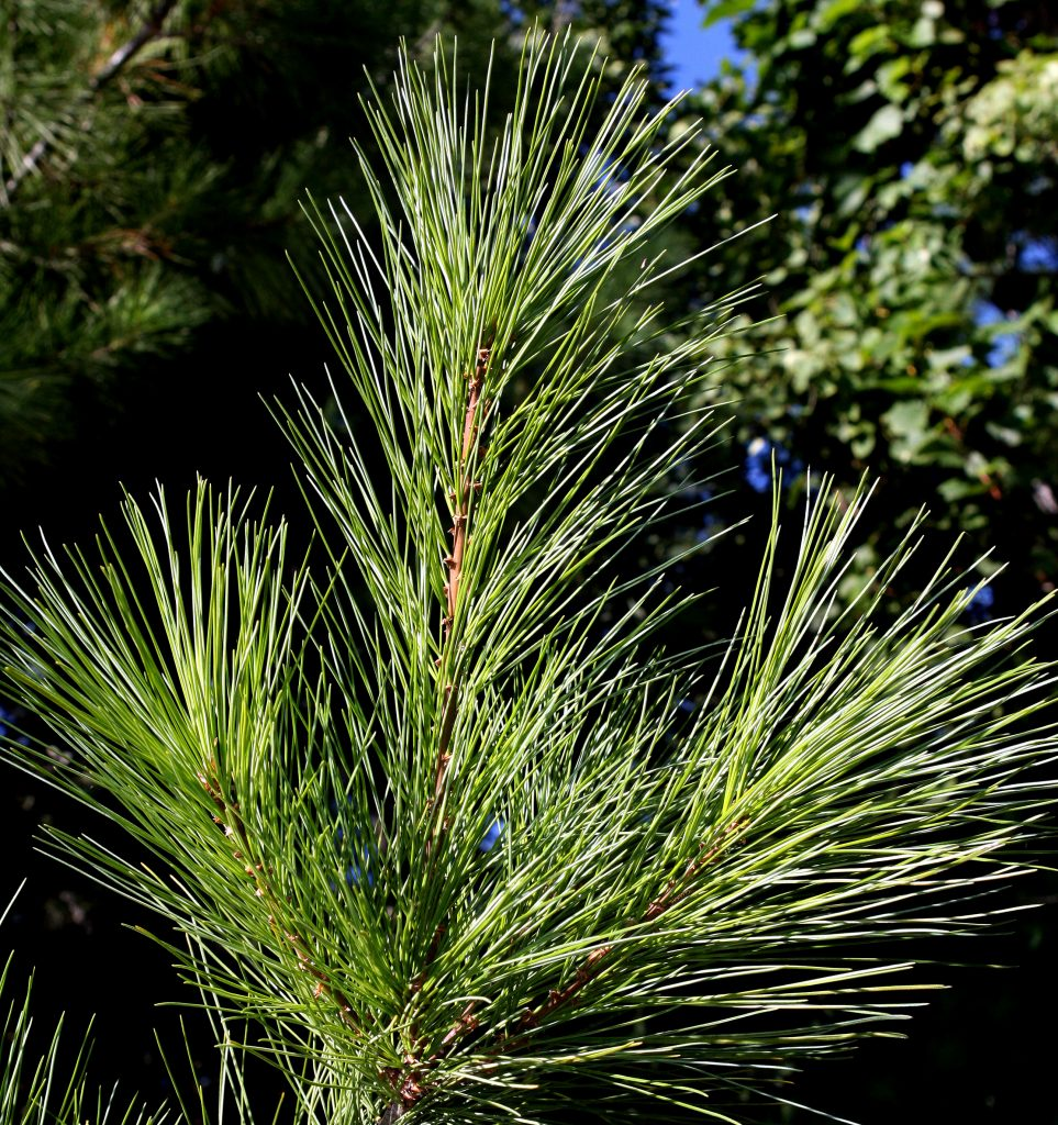 Photo of white pine needles