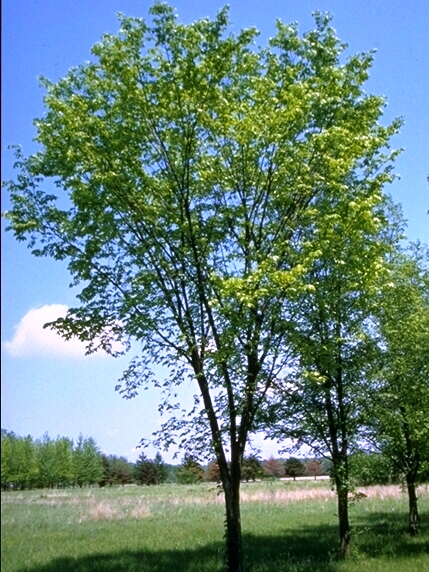Photo of American elm