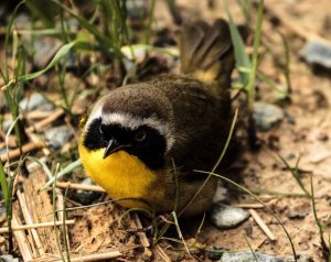 Photo of common yellowthroat