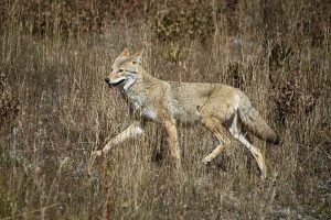 """""""Coyote, Yellowstone National Park"""" by diana_robinson is licensed under CC BY-NC-ND 2.0"""