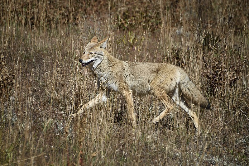 """Coyote, Yellowstone National Park"" by diana_robinson is licensed under CC BY-NC-ND 2.0"