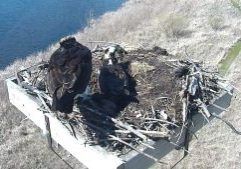 Photo of two osprey in their nest