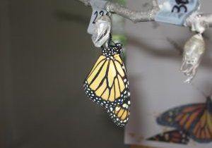 monarch butterfly hanging from its chrysalis