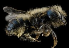 Photo of a blue mason bee
