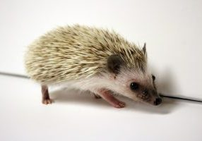 Photo of a baby hedgehog