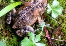 back of American toad