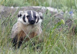 American Badger (Taxidea taxus) by rvguy is licensed under CC BY 2.0