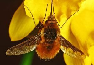 Photo of a bee fly on a daffodil