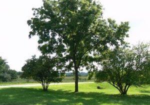 Photo of black walnut tree