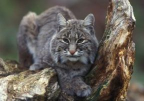 Bobcat_sitting_in_tree