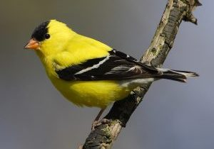 Photo of a goldfinch